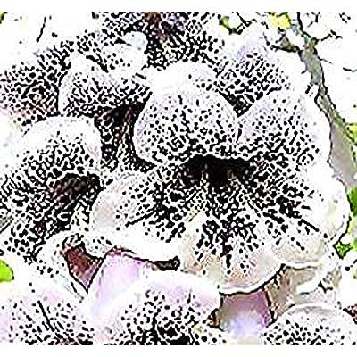 Big Pack - Paulownia fortunei Tree Seeds (5, 000+), aka Dragon Tree, Fortunes Empress Tree, Sapphire Tree, Phoenix Tree - Non-GMO Seeds by MySeeds.Co : Garden & Outdoor