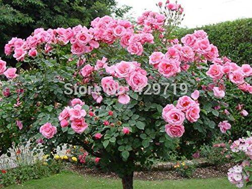 100pcs flor rara semillas de Rose de los árboles, jardín de DIY en maceta, Balcón y flores de plantas Yard: Amazon.es: Jardín