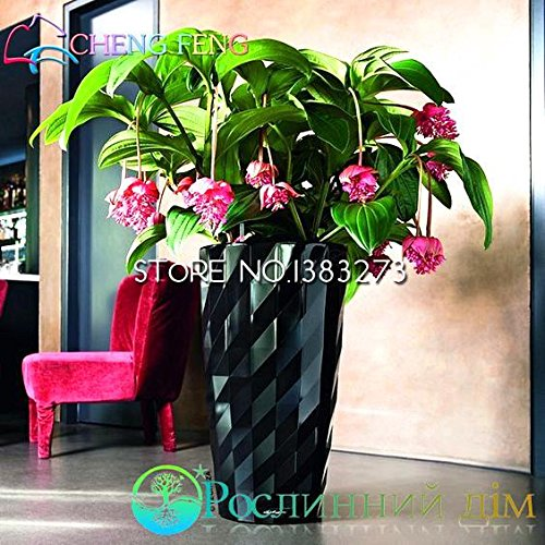 medinilla-myriantha-malaysian-orchid-seeds-30-pcs-pink-blooms-bonsai-blooming-shrub-garden-houseplan