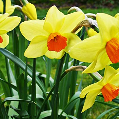 White Yellow Light Yellow Mixed Colors Multiple Quantities Flowelover Daffodil Bulbs (Light Yellow, 1) : Garden & Outdoor
