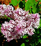 "Miss Kim Manchurian Dwarf Lilac - Syringa - Outdoors/Bonsai - 4"" Pot"