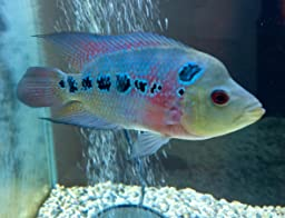 Amazon.com : Okiko Quick RED Head Mark Flowerhorn Fish ...