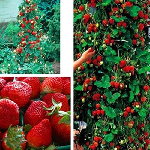 800pcs Strawberry seeds 2016 new red giant Climbing Strawberry Fruit Plant Seeds for Home Garden planting SVI