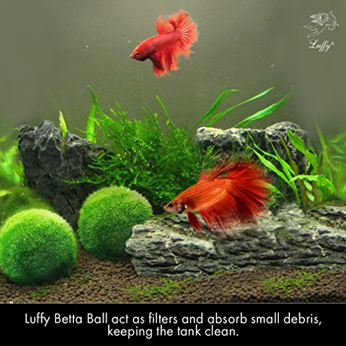 Luffy betta balls live round shaped marimo plant for Natural fish tank
