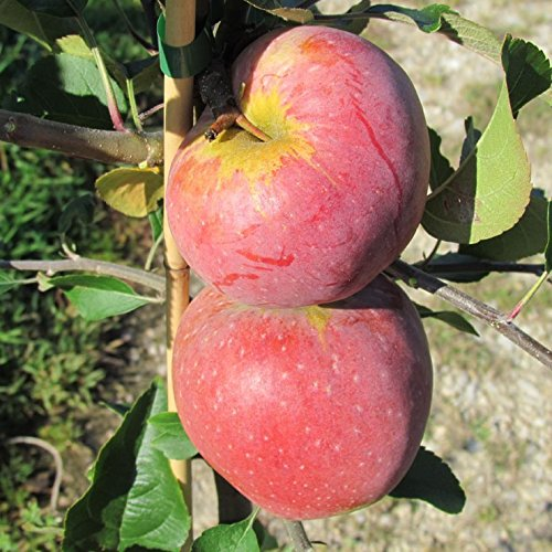 Buschbaum 150-170 cm 10 Liter Topf knackiger Sommerapfel M7 Apfelbaum Jamba