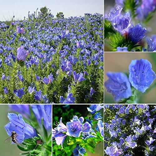 Kukakoo 50 Pcs Echium Vulgare Blueweed Seeds Flower Garden Balcony Bonsai Decoration - Echium Vulgare Seeds (Viper Desert Rose)