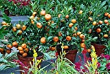 Orange Tree Seeds - DWARF MANDARIN - MEDICINAL CITRUS - Sweet Fruit - 10 Seeds
