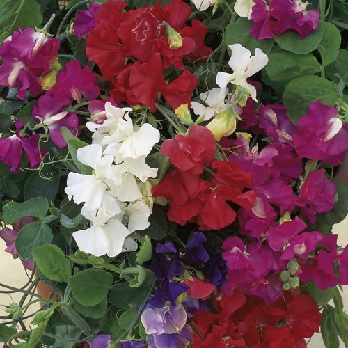 Balcony and Window boxes//Scented//12//2021 Patio Sweet Pea Patio Mix 25 Flower Seeds//for Edging