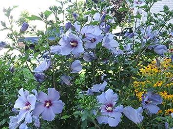 Amazon.com : 20+ Bluebird Hardy Hibiscus Seeds : Garden & Outdoor