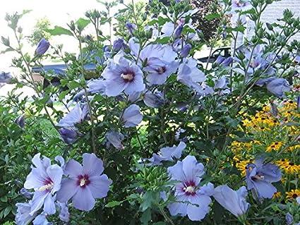 Amazoncom 20 Bluebird Hardy Hibiscus Seeds Garden Outdoor