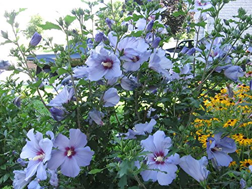 my secret gardens 20 bluebird hardy hibiscus seeds price. Black Bedroom Furniture Sets. Home Design Ideas