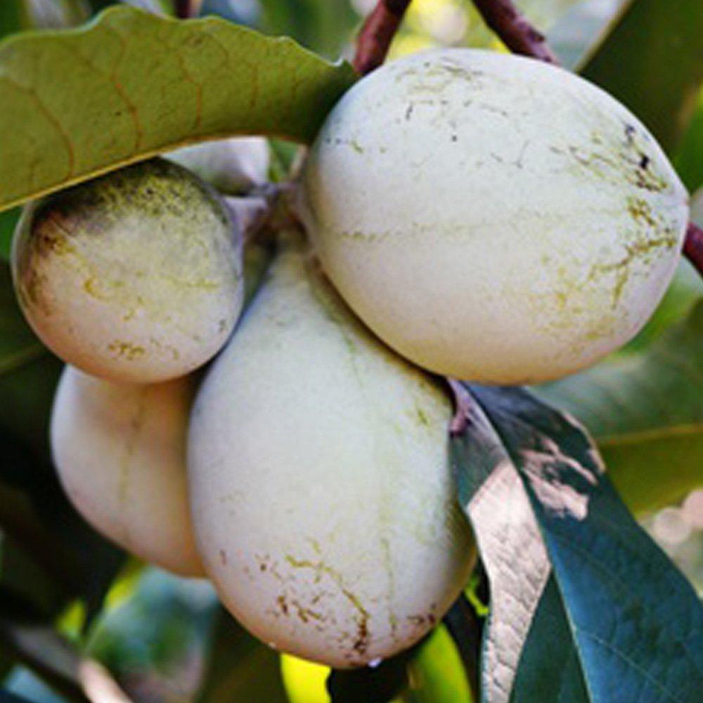 Pianta di Banano del Nord innestata (varietà PRIMA 1216) - Asimina Triloba Dennis Botanic Collection