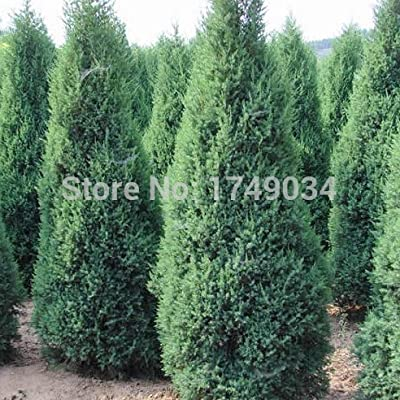 Hot Sale!!! Beautiful Evergreen trees Cypress Seeds, Parks/Roads/ garden Green plant seed - 50pcs : Garden & Outdoor