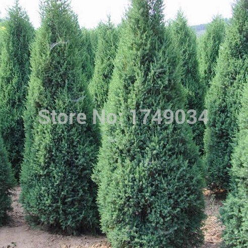Hot Sale!!! Beautiful Evergreen trees Cypress Seeds, Parks/Roads/ garden Green plant seed - 50pcs ()