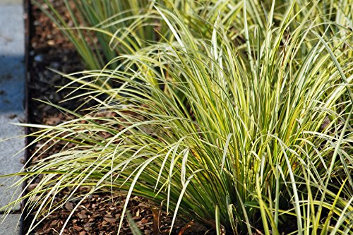 - Perennial Farm Marketplace Acorus g. 'Variegatus' ((Variegated Japanese Sweet Flag) Ornamental Grass, 1 Quart, Green/White Foliage