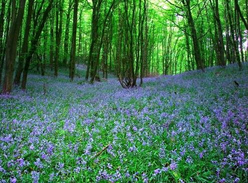 Bluebell - Native English Seeds.- 20 Bluebell seeds
