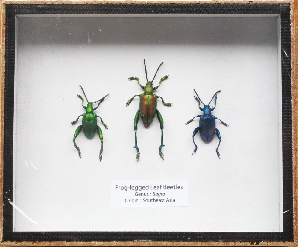 SET 3 REAL FROG LEGGED LEAF BEETLES SAGRA INSECT TAXIDERMY SET IN BOX DISPLAY