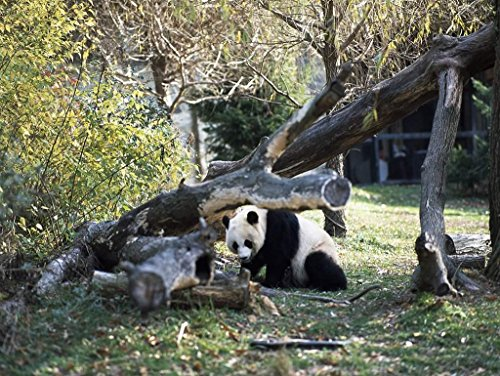 Photograph| A giant panda, the star attraction at the Smithsonian Institution's National Zoo, Washington, D.C. 1 Fine Art Photo Reproduction 44in x 32in