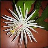 Epiphyllum phyllanthus - Climbing Cactus - 10 seeds