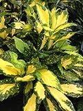 Picturata Aucuba (Aucuba japonica 'Picturata')