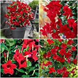 Mandevilla ~ Dipladenia Red ~ Vine Live Plant 12 inches Tall or More ~