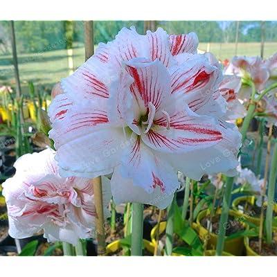 1 Pcs Pink Whie Amaryllis Bulbs Hippeastrum Seeds : Garden & Outdoor