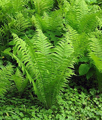 10 OSTRICH FERN Rhizome/root- (Matteuccia struthiopteris)