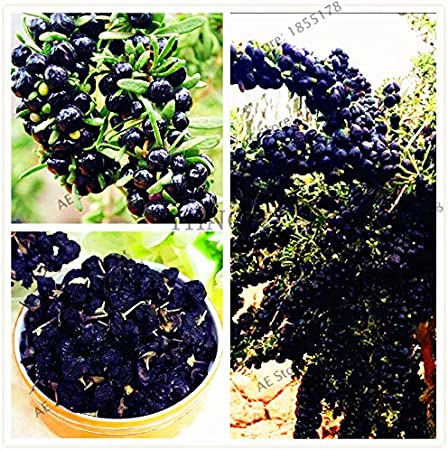 Amazon Com Wanchen 100pcs Pack Goji Berry Bonsai Wolfberry