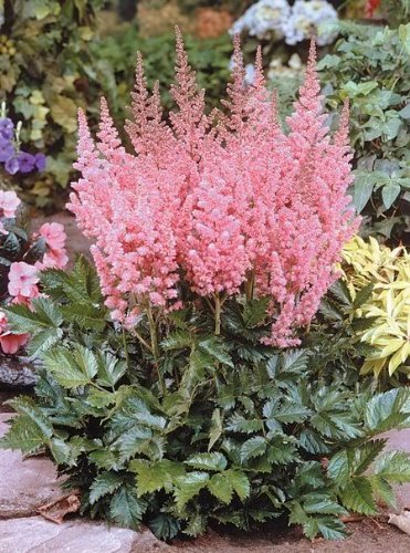 100 PINK MIX ASTILBE (False Spirea / False Goats Beard) Astilbe Chinensis Flower Seeds by ()