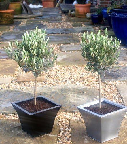 Olea Europaea pair of mini standard Olive trees