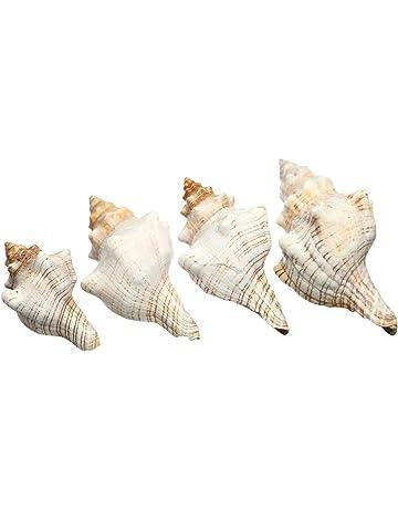 9-20cm Naturel Trompette Coquillage Gros Conque Escargot de Mer Collection Pro