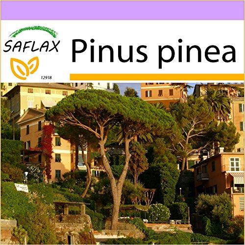 SAFLAX - Stone Pine - 6 seeds - Pinus pinea
