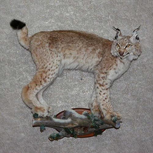 Bobcat Taxidermy Mounts - 9