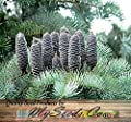 Abies concolor: White Fir Seeds