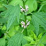 Plant World Seeds - leonurus cardiaca Seeds