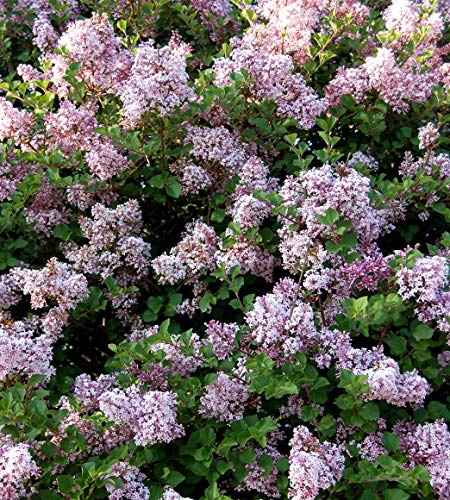 Dwarf Korean Lilac - Syringa meyeri Palibin - Hardy Established Roots - 4