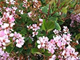 100 seeds Indian Hawthorn Tree Seeds Fresh Seeds