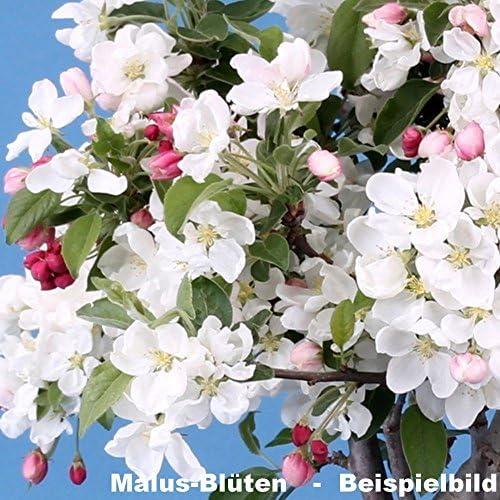 Bonsai Malus spec, Pomme décorative 200/119