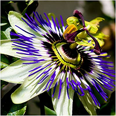 Package of 100 Seeds, Royal Blue Passion Flower (Passiflora caerulea) Non-GMO Seeds by Seed Needs