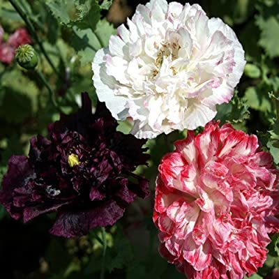 "Package of 12,000 Seeds, Peony Poppy ""Antique Shades"" (Papaver paeoniflorum) Non-GMO Seeds By Seed Needs"
