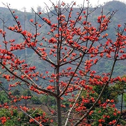 Amazon com : Red Silk Cotton Tree Seeds (Bombax ceiba) 25+