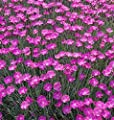 """Dianthus Alwoodii """"Alpinus"""" 3 Plants! Buy Direct From The Colorado Grower! Delivery In 4 Days!"""