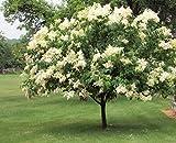30 JAPANESE TREE LILAC SEEDS - Syringa reticulata