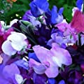 Everwilde Farms - Knee High Mix Sweet Pea Wildflower Seeds - Gold Vault