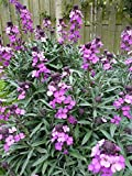 WallFlower aka Erysimum lin. 'Bowles Mauve' Live Plant Fit 1 Gallon Pot