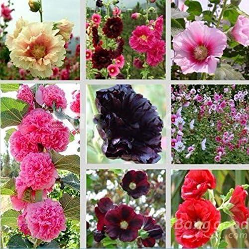mark8shop 30 Samen Mix Alcea Rosea Stockrose Multi Farben Blumen Pflanzen