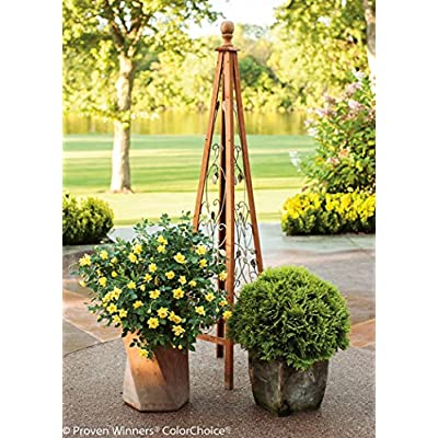 1 Gal. Oso Easy Lemon Zest Landscape Rose (Rosa) Live Shrub, Yellow Flowers: Garden & Outdoor