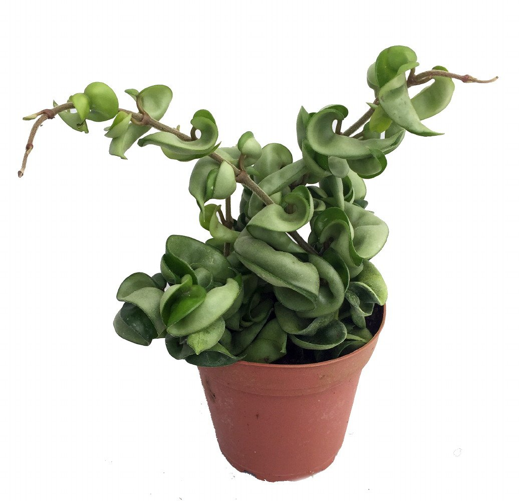 Hindu Indian Rope Plant - Hoya - Exotic/Easy - 4 Pot Hirt' s