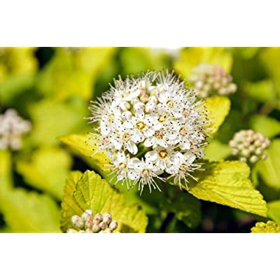 Toyensnow - NINEBARK Physocarpus Opulifolius Darts Gold (50 Seeds) : Garden & Outdoor