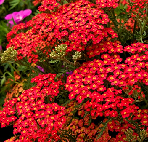 Red Yarrow Wildflower Seeds Grow Stunning Perennial Herb Homeopathy bin206 (2,000 Seeds)